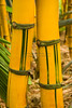 Two Yellow Bamboo Trunks