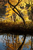 Yellow Leaves Backlit, Delaware River and Canal