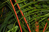 Red Sealing Wax Palm, American Orchid Society, Delray Beach, FL