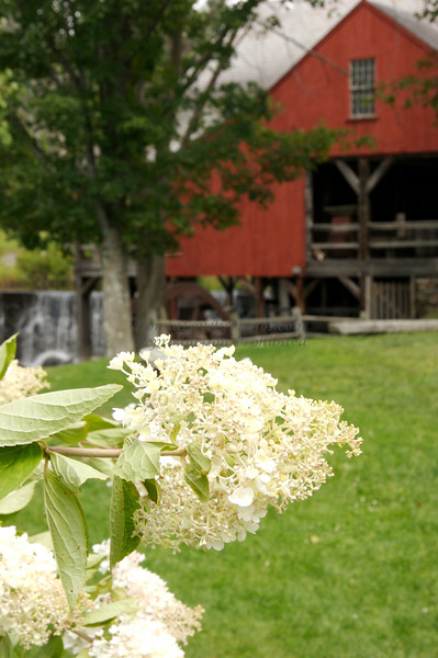 White Hydrangea at Weston, VT Waterfall