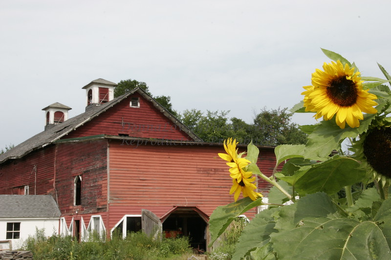 Sunflowers and Red Barn, Berkshires, MA