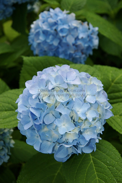 Blue Hydrangeas, Vertical