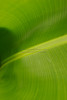 Banana Leaf Abstract