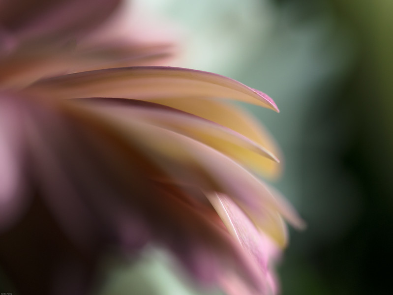 The Feathery Kisses In My Dreams