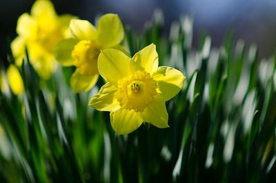 daffodils-9