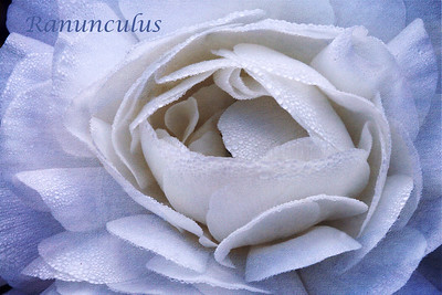 White Ranunculus Textures courtesy of Kim Klassen