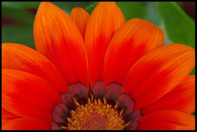 Orange Gazania Sunrise