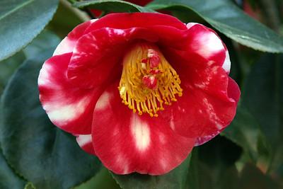 Camellia  Descanso Gardens  La Canada Flintridge CA