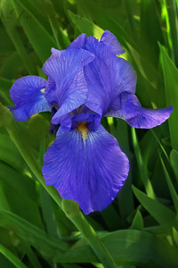For Elizabeth T. I chose this Iris because it reminded me of her beautiful Violet eyes. Elizabet Taylor was a true legend of our times and will be missed. R.I.P March 23 2011