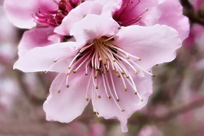Peach Blossom March 2010