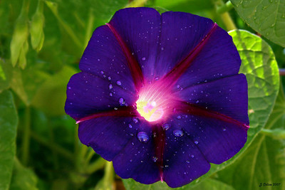 Morning Glory with Dewdrops