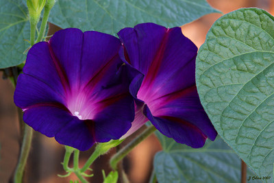 2 Morning Glories