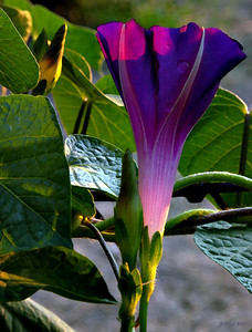 Dawn Morning Glory