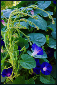 Many Morning Glories