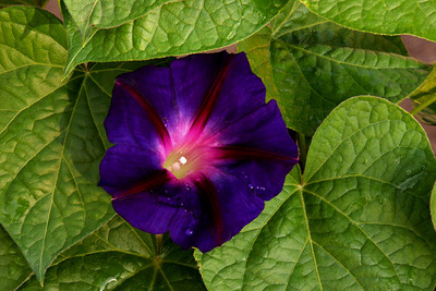 June Morning Glory #1