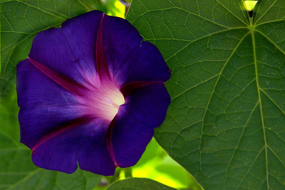 July Morning Glory #1