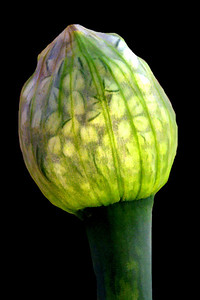 Onion .....Phase #1
