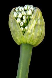 Onion...Phase #2