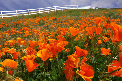 Leona Valley Poppies
