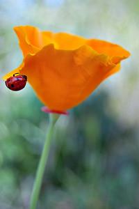 Ladybug & Poppy