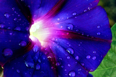 Morning Glory and Dew