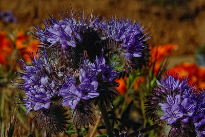 Phacelia and Poppies