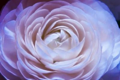 Lilac glow