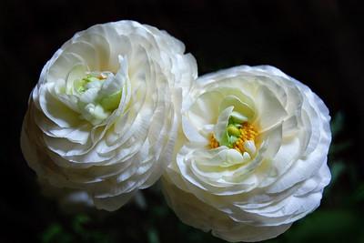 Ranunculus Twins
