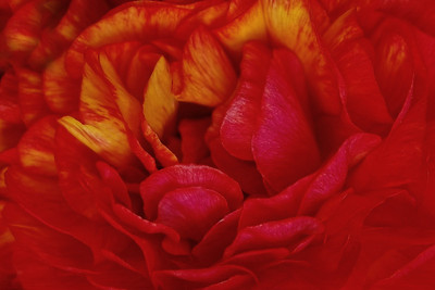 Red & Gold Ranunculus