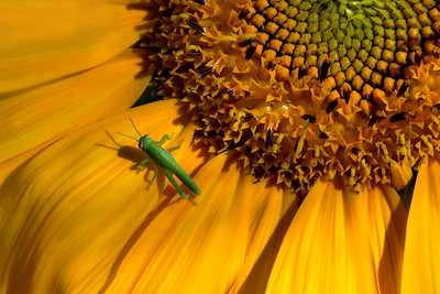 July Sunflower and 5 legged grasshopper