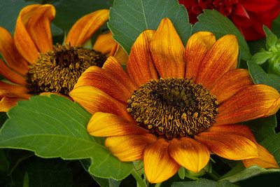Rusty Sunflowers