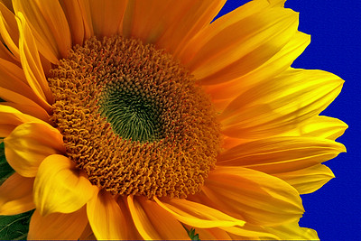 Sunflower and Blue Wall