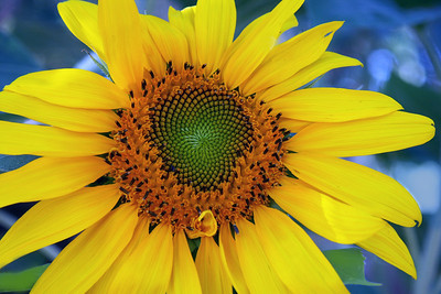 Sunflower 2011