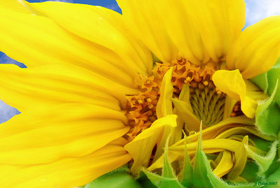 Harley's Sunflower  For my friend Lee Ann who lost her little dog Harley to a Hit and Run.