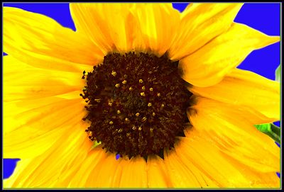 First Summer Sunflower