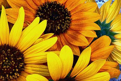 Lotsa Sunflowers
