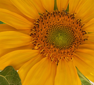 Just Another Sunflower!