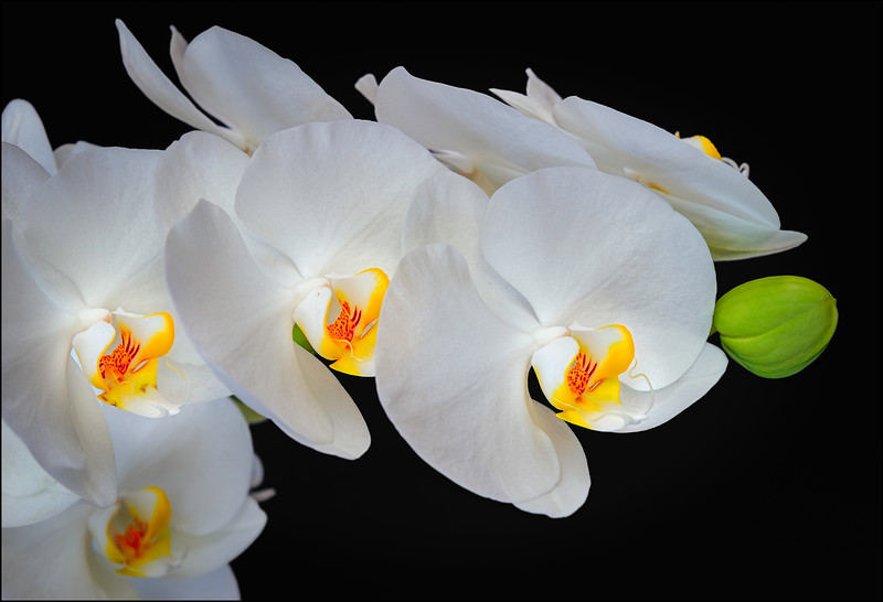 Cascading White Phalaenopsis with Bud