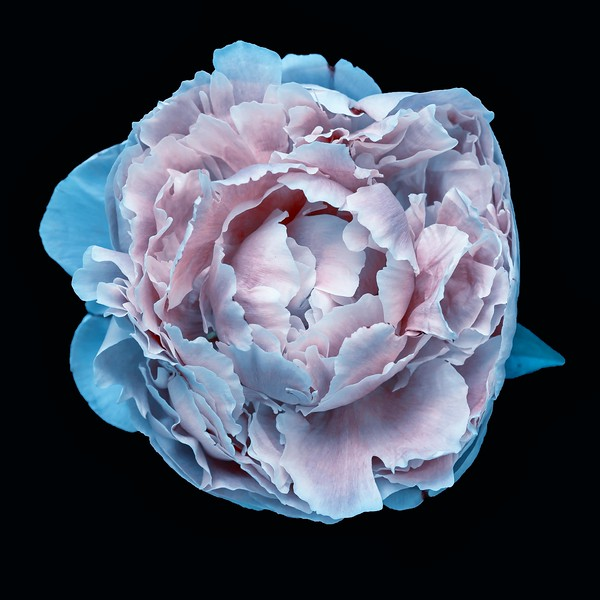Tissue Bloom