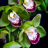 Cymbidium Orchid Branch