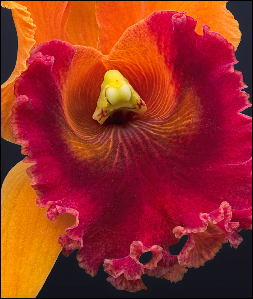 Red and Orange Lester McCoy Dendrobium Orchid