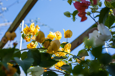 Golden Bougainvillea