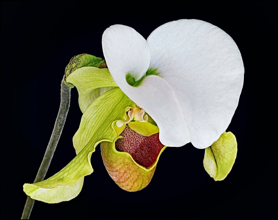 White Petal Lady Slipper Orchid