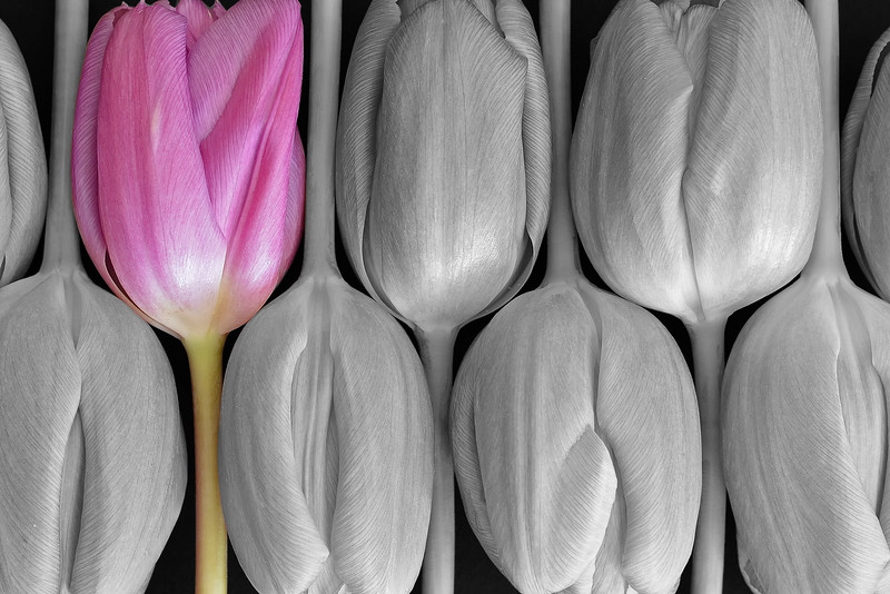 Arranged Tulips
