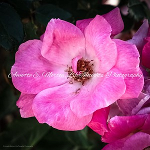 """""""Petals in Pink"""" Sandy Cove, North East MD"""