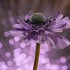 Lilac Twist