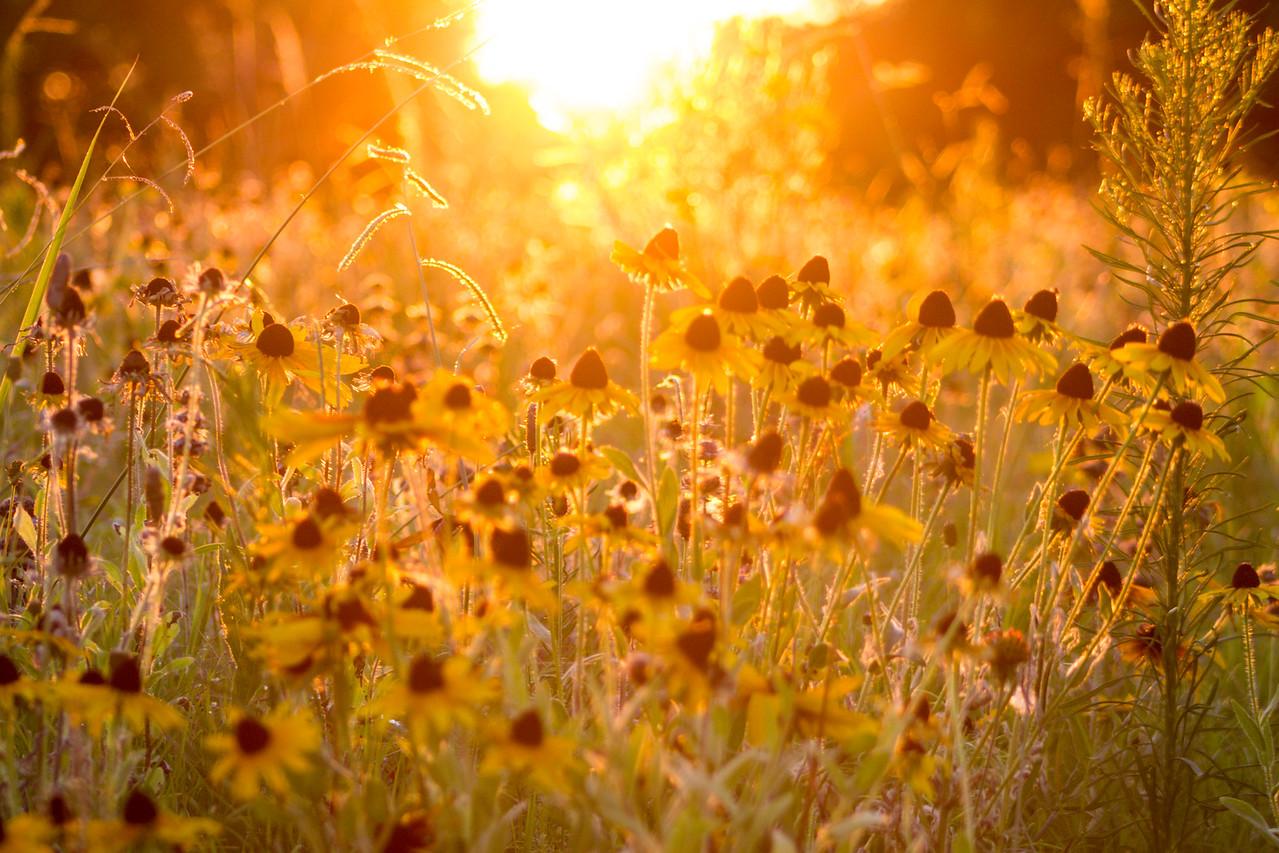 Black-eyed Susans backlit by the Sunset