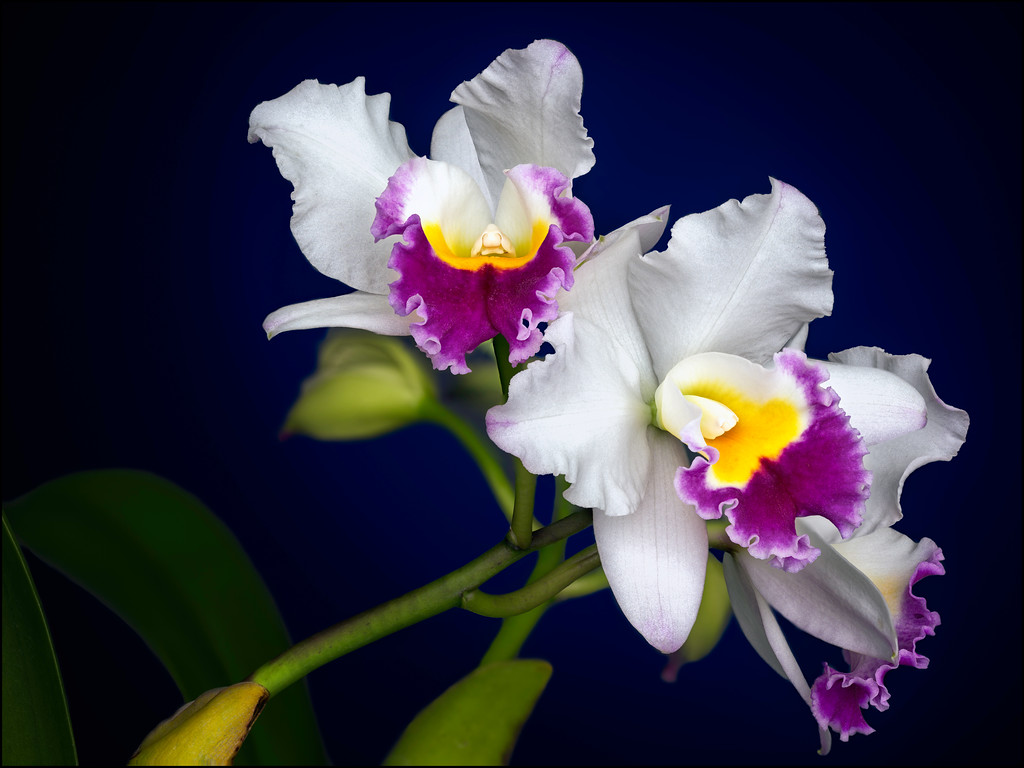 Three White and Purple Cattleya Orchids