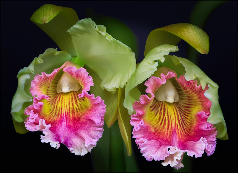 Blooming Pink Cattleya Orchids
