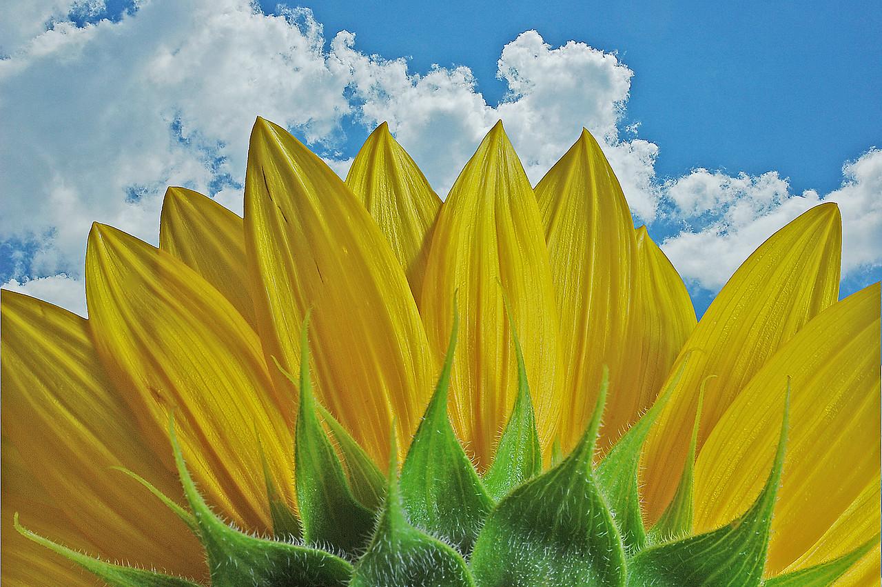 Sunflower Blue Sky